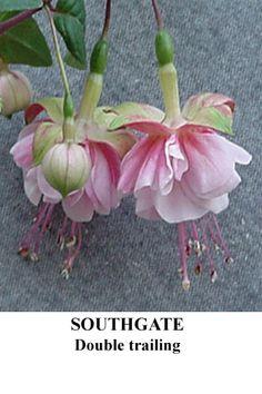 'Southgate' Fuschia