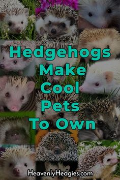 Hedgehogs are amazing creatures that make cool pets to own. Our collage of adorable hedgies show some of the cuteness overload! Guinea Pig Toys, Guinea Pig Care, Guinea Pigs, Hedgehog Facts, Hedgehog Care, Animals And Pets, Cute Animals, Pet Rodents, Homemade Cat Toys