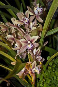 Hoa Phong Lan Cymbidium Orchids | ... cymbidium orchid cymbidium winter fire splash yellow cymbidium orchid