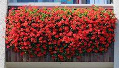NapadyNavody.sk | Ako sa starať o muškáty čo najlepšie, aby sa vám odmenili bohatými žiariacimi kvetmi Hanging Baskets, Geraniums, Pergola, Flora, Home And Garden, Gardening, Plants, Gardens, Balcony