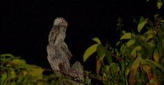 Mãe-da-lua-gigante se camufla em tocos de árvores e vocaliza alto