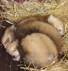 baby red panda pile of fur