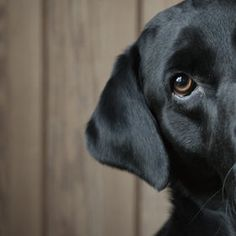 lovely Labrador pic.  Reminds me of my Max.  They have such expressive faces. And I defie anyone to convince me dogs, especialy Labs, don't have facial expressions.