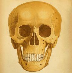Skull (detail) FF Miller, 1879, via Flickr.