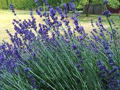 Lavender -- English