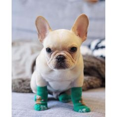 Leo is wearing Winnie the Pooh Booties, French Bulldog Puppy, @ frenchieleo on instagram
