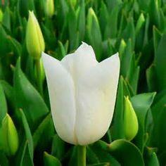gladioli bianchi - Bing Immagini