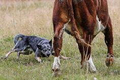 Australian Cattle Dog - Herding a Cow