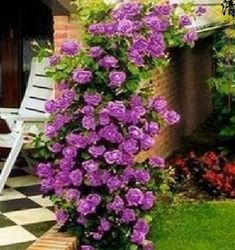 10 Climbing Purple rose seeds