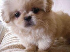 Pekingese puppy...looks like Anna banana