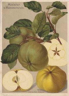 Vintage Printable Apple 'Minister v. Hammerstein'