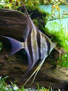 pterophyllum altum - look at he nose! Tropical Freshwater Fish, Tropical Fish Aquarium, Freshwater Aquarium Fish, Saltwater Aquarium, Aquariums, Aquascaping, Salt Water Fish, Underwater Creatures, Angel Fish