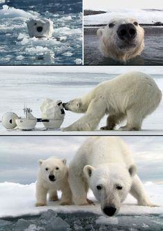 Cameras cleverly disguised as lumps of snow were able to catch some rare and amazing photos and vid of these endangered polar bears.    They almost went by unnoticed 'til one Polar Bear destroyed $200,000 worth of camera equipment (the whole thing was caught on photo and video).    Polar Bear: Spy on the Ice