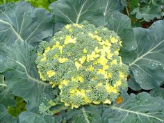 Broccoli flowers. Broccoli is no good if it flowers, pretty but not yummy.