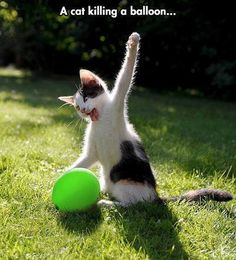 A cat killing a balloon