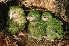 Kakapo Recovery has been given valuable hi-definition video footage - shot by an Emmy award-winning crew on Whenua Hou/Codfish Island - to edit and use to promote the programme.    Producer/Director Mark Zavad and cinematographer Edward Dadulak, have each won three Emmy awards for their individual work. The pair was given special permission to travel to Whenua Hou/Codfish Island in December, where they shot footage for a documentary featuring high-profile Los Angeles vet Dr Attila Molnar.