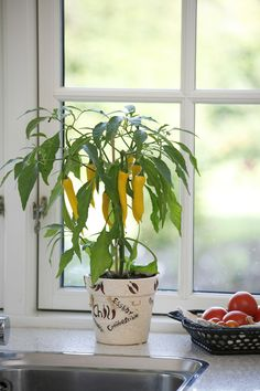 Golden Cayenne - Medium to hot spice, fantastic grown in pots, great bright yellow fruit.