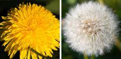 Nur hübsche Pusteblume? Von wegen!   Ein sehr facettenreiches Wildkraut - Küche/Schönheit/Gesundheit sind seine Bereiche. Kraut, Dandelion, Health, Flowers, Plants, Natural Medicine, Health Care, Dandelions, Plant