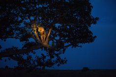 UGANDA  A lion climbs a tree to sleep, in Uganda's Queen Elizabeth Park.    National Geographic's 125th Anniversary