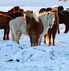 An afternoon pause to admire the beautiful Icelandic horses.