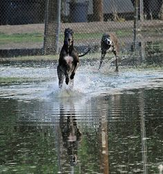 Greyhound fun run - the only kind there should be.