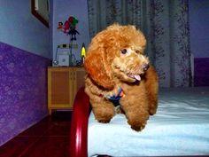 #tofy #doglover #poodle