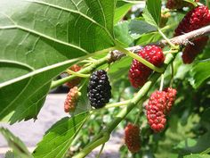 foraging  mulberries