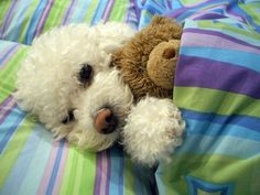 'Time for my afternoon nap - wake me up for my Dinner please'.- Cute Poodle Dog with its Teddy Bear