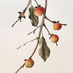 """Malone's persimmons come to life as they cascade along the curves of the branch… [photo: Vicki Malone, """"American Persimmon,"""" (detail), Watercolor, x . Persimmon Fruit, Hand Painted Furniture, Botanical Illustration, Drawing Reference, Watercolor Paintings, Art Gallery, Art Nature, American, Drawings"""