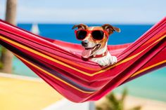 size: Photographic Print: Dog on Hammock by Javier Brosch : What Dogs, Real Dog, Free Dogs, Animal Party, Party Animals, Jack Russell Terrier, Animals And Pets, Hammock, Dog Breeds
