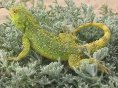 Southern Spiny Agama, Cape of Good Hope