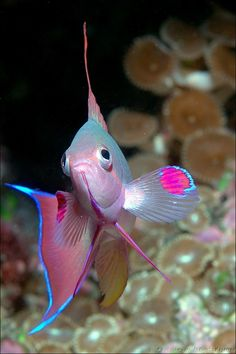 Anthias, Bligh Water, Fiji idk how a fish is considered cute fuzzy and wuzzzy but So pretty!
