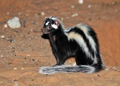 Striped Polecat. (Polecat: a term/name loosely used for the Carnivora and mustelinae family.)