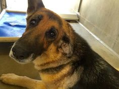 nice See the melancholy in her face: 10-12 months-vintage German shepherd listed as pressing
