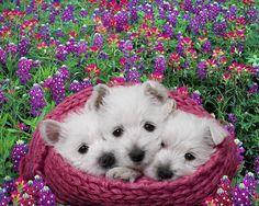 11573. West Highland White Terriers (Westies) - Jim Zuckerman Photography