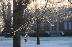 A frozen branch on a tree in front of Chambers