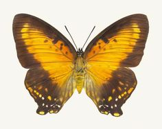 Fine art butterfly photography print of a female Meadow Wanderer Butterfly, Charaxes zingha, by Allison Trentelman.