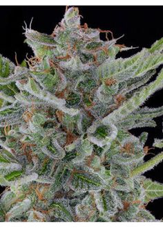"""White Widow - If it says """"white"""" you're doing it right."""