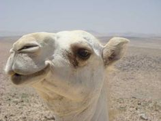 Could antibodies from camels protect humans from MERS? - http://scienceblog.com/77545/could-antibodies-from-camels-protect-humans-from-mers/