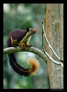Malabar giant squirrel, (Ratufa indica)  Also known as the Indian giant squirrel, this gorgeous creature has four to five known subspecies ...