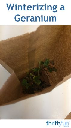 This is a guide about winterizing a geranium plant. These cheerful flowers can be easy to winterize and enjoy year after year.