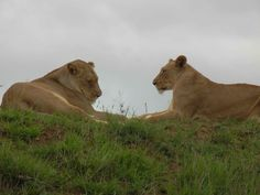 Lazy lions at Phinda, South Africa during 2011 UN Climate Change conference side visit