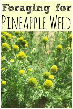 Foraging for pineapple weed (wild chamomile)