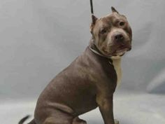 TO BE DESTROYED 04/01/16 **NEEDS A NEW HOPE RESCUE TO PULL** Jay is a neutered hunky-hunk who woke up in his own home on the morning of March 22nd, but who spent his first sleepless night at the ACC some hours later. Why? Because whoever had the power of life or death over Jay, decided that their own
