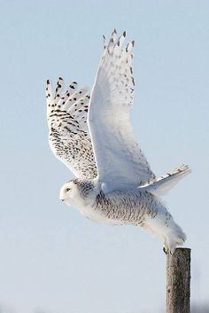 Snowy Owl / Harfang des neiges - Taking off from fencepost. Snowy Owl, Beautiful Owl, Animals Beautiful, Pretty Birds, Love Birds, Birds 2, Animals And Pets, Cute Animals, Wild Animals