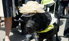 Royal Ascot 2015,Day 3, Ladies' Day:   A guide dog adheres to strict Ladies' Day sartorial protocol. You will almost certainly not see a better photo than this all day. Photograph: Kirstin Sinclair.