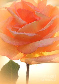 Heavens Peach Rose Photograph  - Heavens Peach Rose Fine Art Print