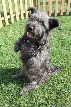 Glen of Imaal Terrier - Google Search Irish Dog Breeds, Glen Of Imaal Terrier, Newfoundland, Schnauzer, Dog Love, Best Dogs, Pup, Cute Animals, Creatures