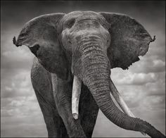 Elephant with Tattered Ears, Amboseli 2008 Nick Brandt