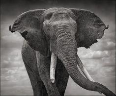 Elephant with Tattered Ears, Amboseli 2008 Nick Brandt